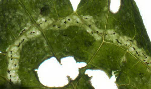 Amauromyza morionella: detail of mine on Balllota nigra