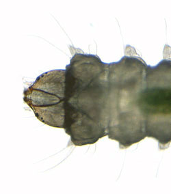 phyllonorycter esperella: head of second stage larva