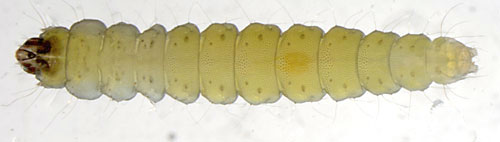 Phyllonorycter nicellii larva