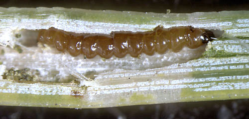 Ocnerostoma friesei larva