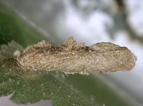 Coleophora serratella case