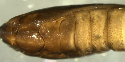 Phyllonorycter nicellii pupa