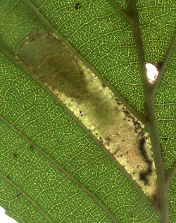 Phyllonorycter klemannella mine
