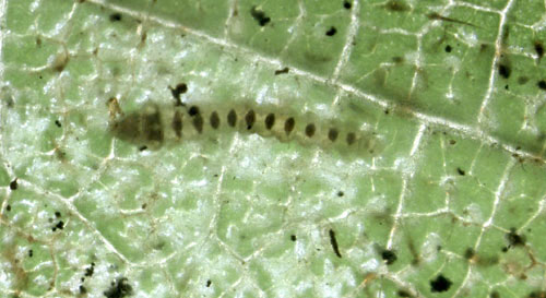 Phyllonorycter coryli: young larva in its mine