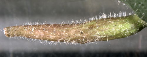 Eriophyes tiliae gall