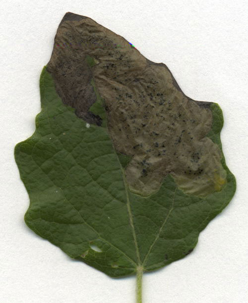 Agromyza albitarsis: mine on Populus canescens
