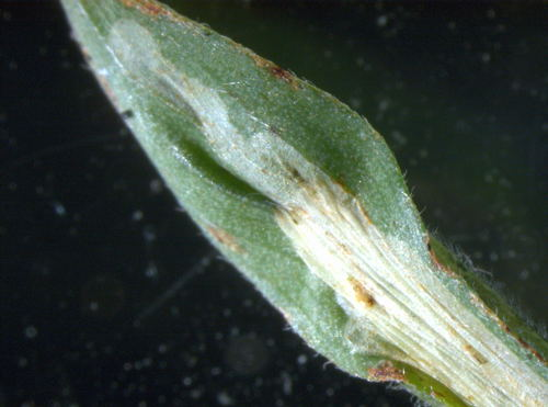 Phyllonorycter nigrescentella mine