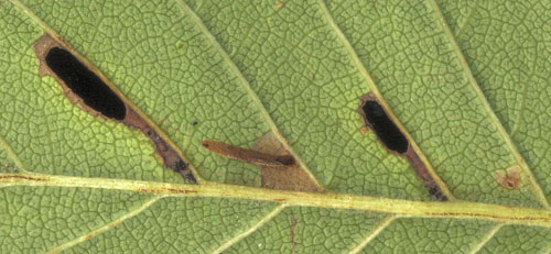 Coleophora limosipennella: youth mines