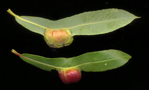 Euura vesicator gall on Salix purpurea