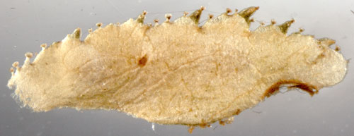Coleophora gryphipennella case