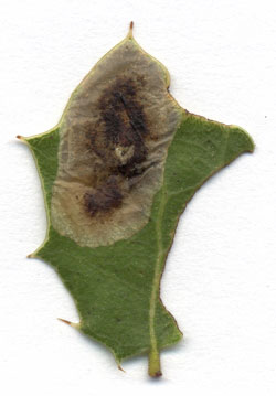 Phyllonorycter belotella mine