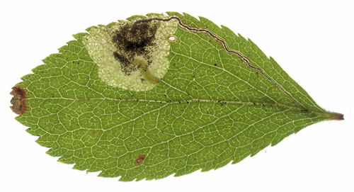 Stigmella plagicolella mine on Prunus spinosa