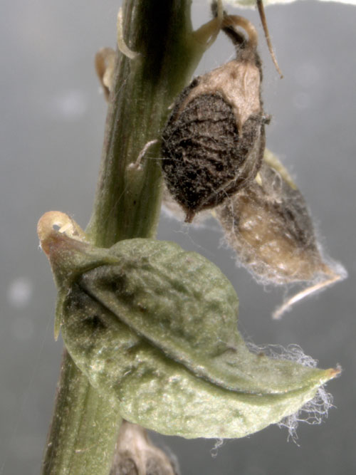 unknown gall on Melilotus alba