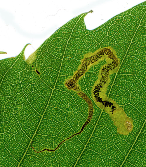 Stigmella samiatella: mine on Castanea sativa