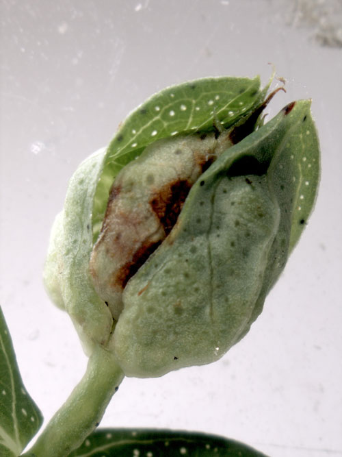 Lathronympha strigana: gall on Hypericum perforatum