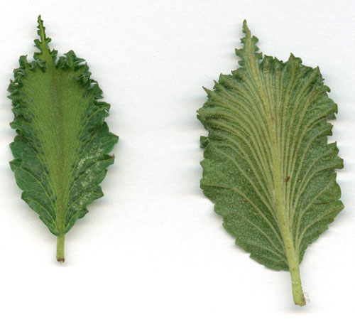 Ulmus leaves, galled by unknown Eriophyid