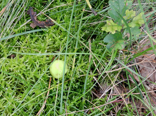 Cynips quercusfolii: ripe galls drop to the ground