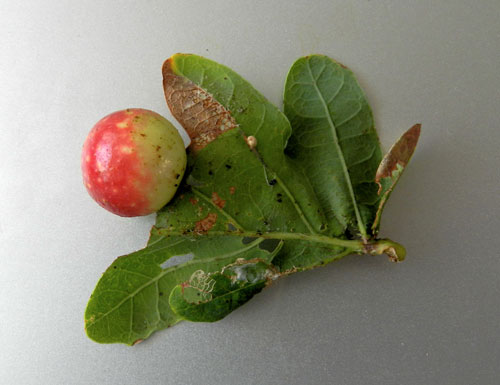 Cynips quercusfolii: gall on Quercus robur