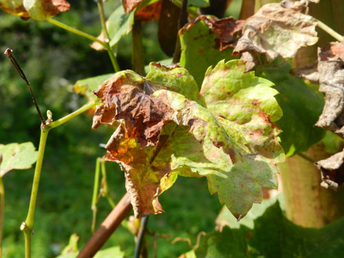 Plasmopara viticola: damage on Vitis vinifera