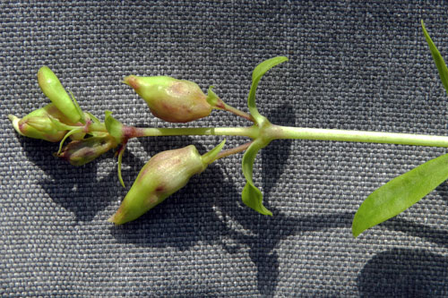 Contarinia steini: galls on Saponaria officinalis