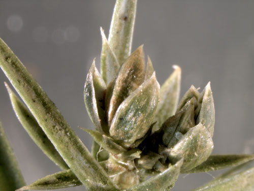 Oligotrophus gemmarum: galls on Juniperus communis