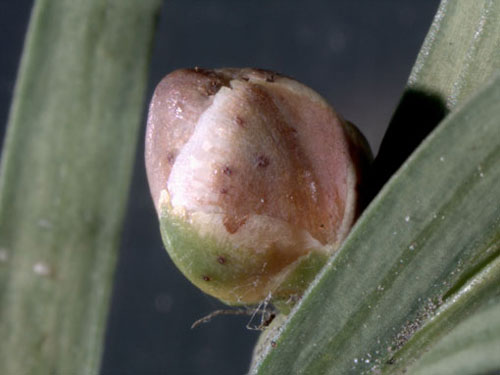 Cecidophyopsis psilaspis: gall on Taxus baccata