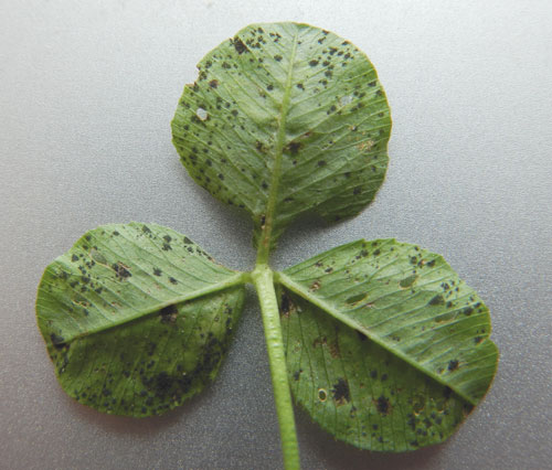 Cymadothea trifolii on Trifolium repens