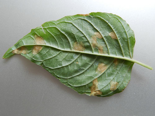 Pucciniastrum circaeae uredinia on leaf of Circaea lutetiana