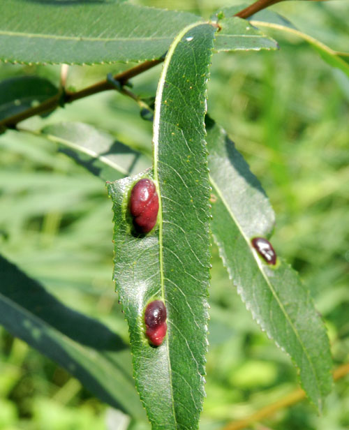Euura triandrae: galls on Salix triandra