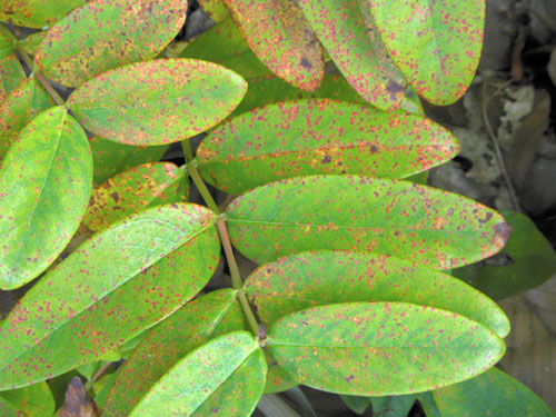 Melampsora hypericorum on cultivated Hypericum