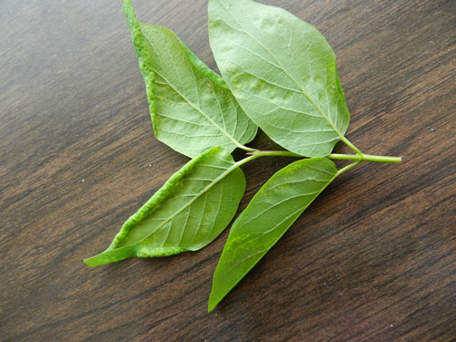 Rhopalomyzus lonicerae: galled leaves of Lonicera sp.