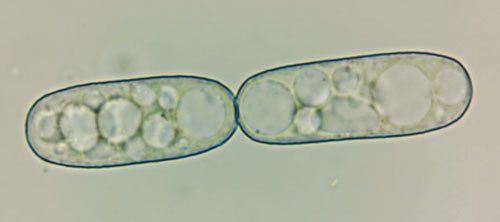 Golovinomyces sonchicola: conidia