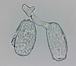 Erysiphe heraclei: germinating conidium