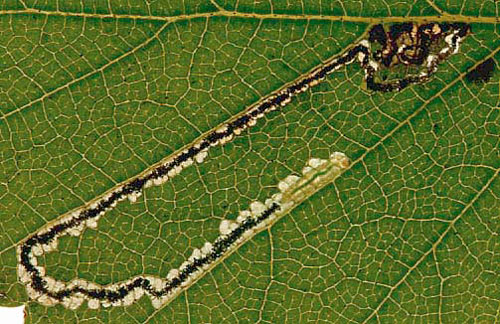 Stigmella luteella: mine on birch