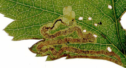 Stigmella oxyacanthella mine on Craraegus monogyna