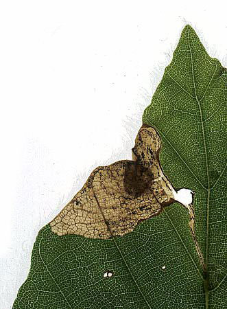 Orchestes fagi: mine with cocoon