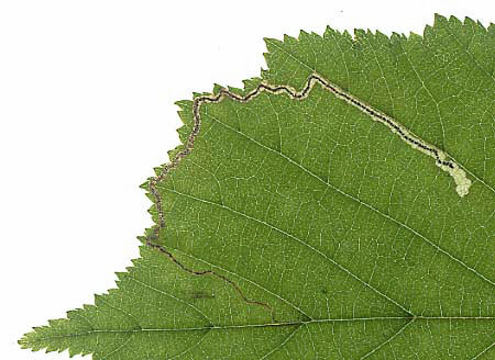 Stigmella microtheriella: mine on Corylus avellana