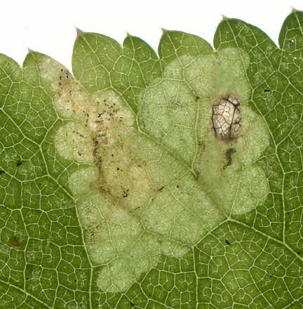 Phytomyza angelicastri: mine on Angelica sylvestris