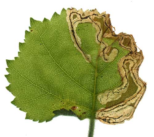 Anoplus plantaris: mine on Betula pubescens