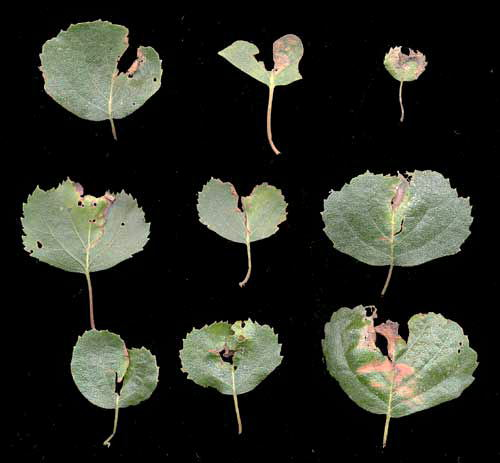 Anoplus plantaris: old mines on Betula pubescens