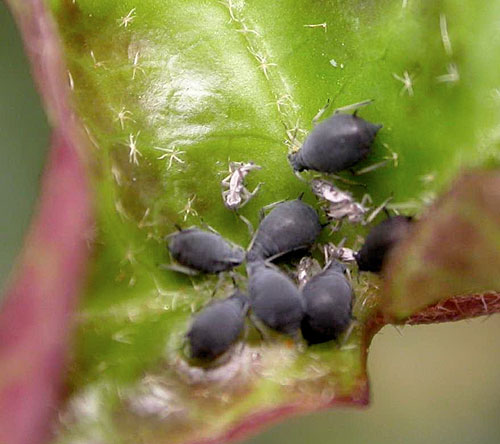 Aphis hederae aphids