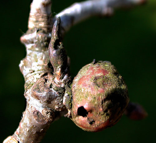 Andricus solitarius old gall (with A. lignicolus)