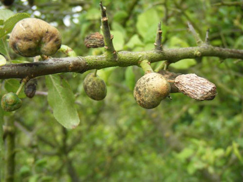 Taphrina pruni, gall (pocket plum) on Prunus spinosa
