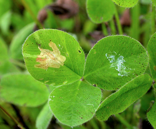 Parectopa ononidis: mine on Trifolium repens