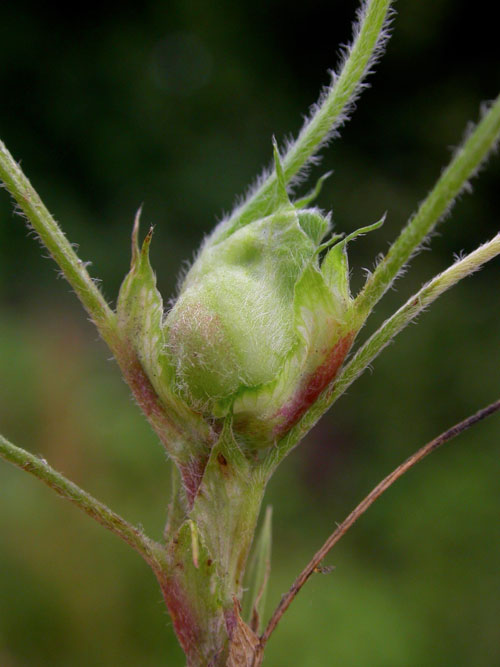 Dasineura lupulinae: gall on Medicago lupulina