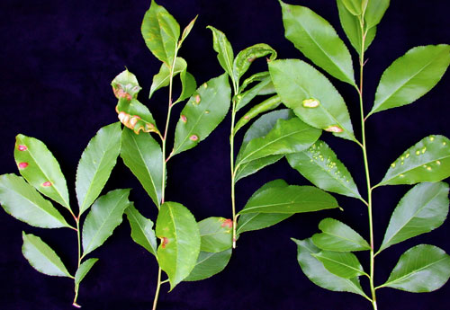 Taphrina farlowii: galls on Prunus serotina