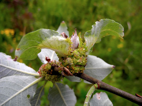 Stenacis triradiata: gall on Salix cinerea
