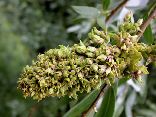 Stenacis triradiata: gall on Salix alba