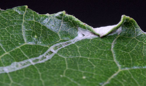 Phyllocnistis xenia: pupation site, on Populus alba