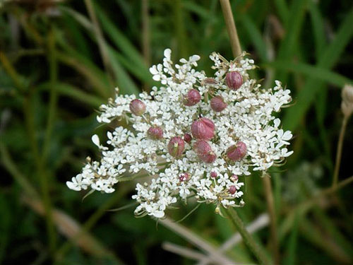 Kiefferia pericarpiicola: galls on Daucus carota